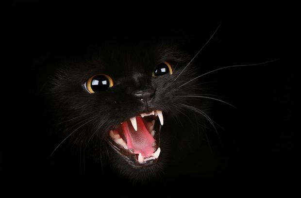 animal-photography-black-cat
