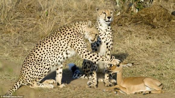 cheetahs_letting_tiny_antelope_go_01