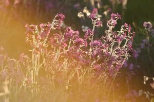 Backlit flowers lens hood web 300x199 Parasoley Nedir ? Ne İşe Yarar?