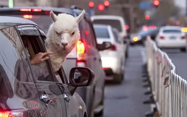 12-Crazy-Photos-Of-Animals-In-Transport-1