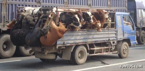 transport_animals_Funzug.org_03-711503