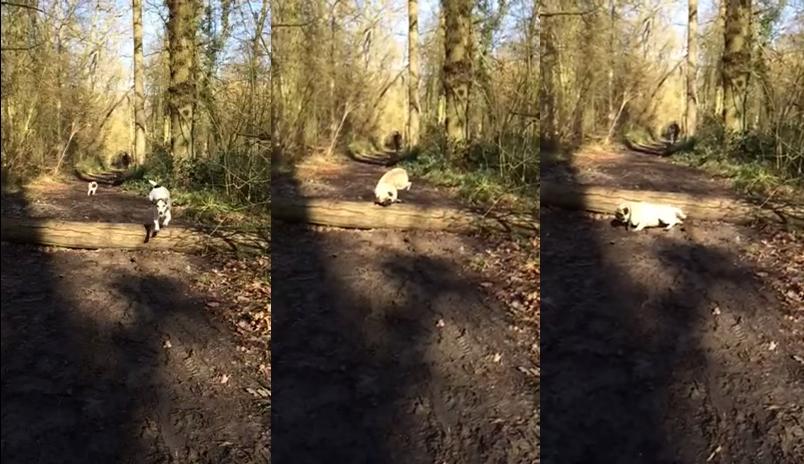 Atlama Konusunda Beceriksizliğinin Bedelini Ağır Ödeyen Köpek